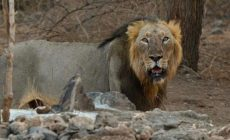 Famous Gir sanctuary's oldest lion in wild, Ram, dies